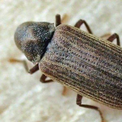Common Furniture Beetle close camera shot